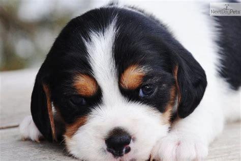 beaglier puppies beaglier puppy for sale near sioux falls se sd south dakota 3e0fd5c7 9731