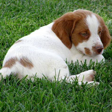 bird puppies kansas bird puppy still needs family