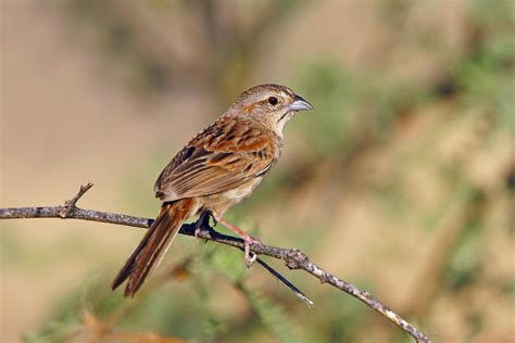 botteri s sparrow audubon field guide