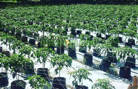 Fertigasi Dan Hidroponik 10 tahap mudah cara menanam cabai hidroponik fertigasi