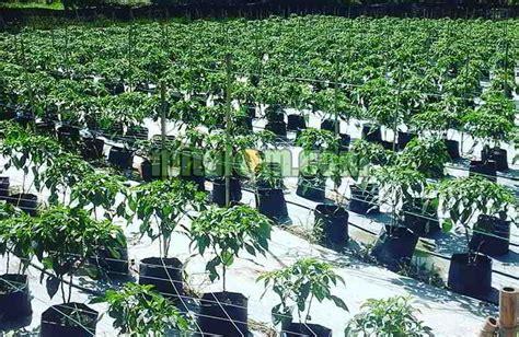 Hidroponik Fertigasi Sederhana 10 tahap mudah cara menanam cabai hidroponik fertigasi