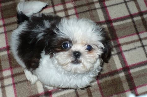 shih tzu puppies for sale in arizona view ad shih tzu puppy for sale arizona tucson usa