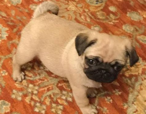 pug puppies for sale denver home raised pug puppies available for sale now listlux