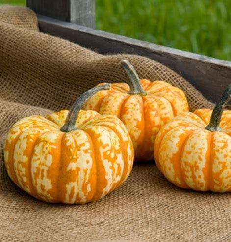 Biji Benih Labu Butternut Waltham Pumpkin benih mini pumpkin hooligan f1 3 biji non retail