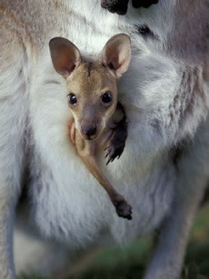 pupsik kangaroo giving birth