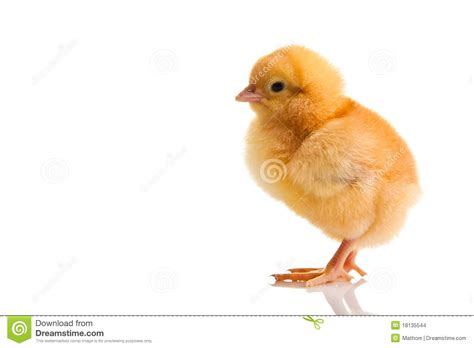 tiny small little chicken animal isolated stock images image 18135544