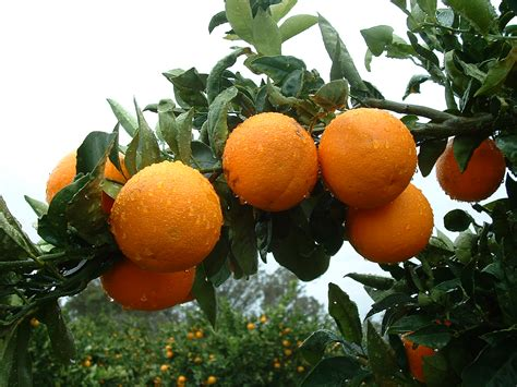 healthy citrus department  agriculture  food