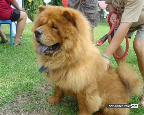 dogs that look like lions dogs breeds that look like lions