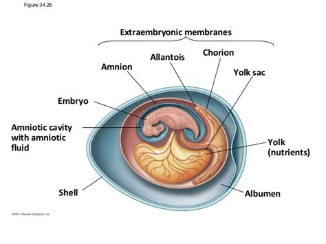 diagram of an amniotic egg amniotic egg diagram simple pictures to pin on