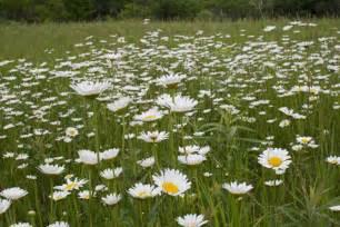 Species Of Flowers Pictures - minneflora ox eye daisy chrysanthemum leucanthemum