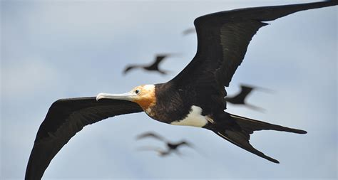 frigate birds fly nonstop for months science news