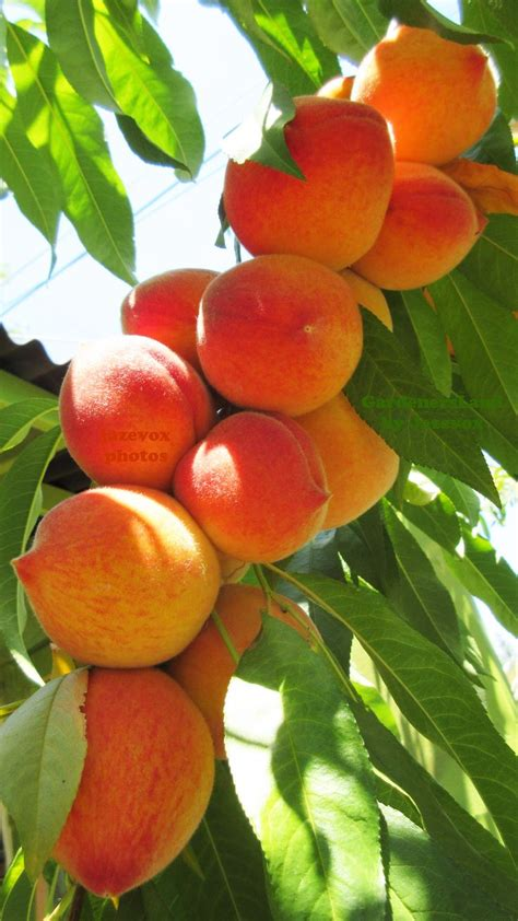 fruit tree garden 25 best ideas about orchards on fruit trees