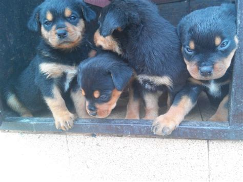 7 week puppy care 7 weeks rottweiler puppies for sale 4puppies pets nigeria