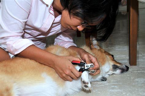 prix pour couper les ongles d un chien 4 astuces pour couper les ongles de chien sans aucun
