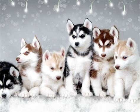 puppy huskies snow dogs husky wallpaper