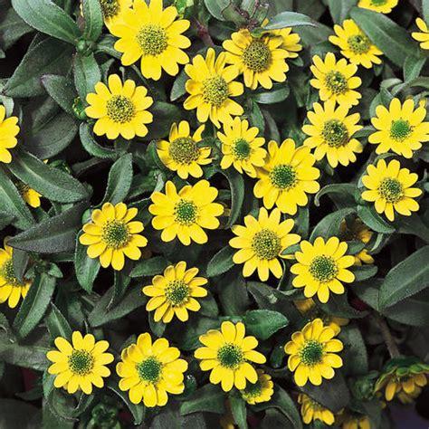 Biji Bunga Matahari Per Kilogram creeping zinnia 30 biji bijibunga