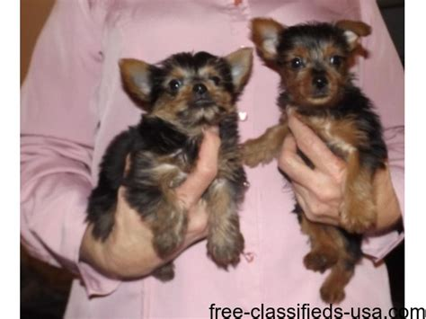 alvin yorkies akc wonderful yorkies puppie 646 493 1376 animals alvin illinois