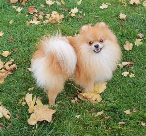 pom pomeranian for sale pomeranians for sale cambridge cambridgeshire pets4homes