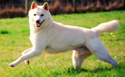 jindo dogs korean jindo breed info characteristics traits