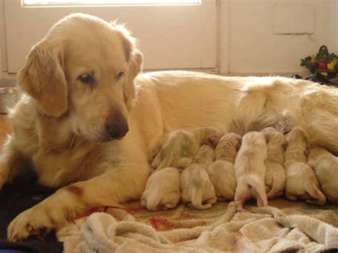 perros golden retriever perros golden retriever crianza www iliturgitano comuv