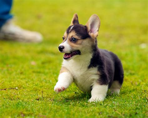 vr puppies corgi puppies 28 daniel stockman flickr
