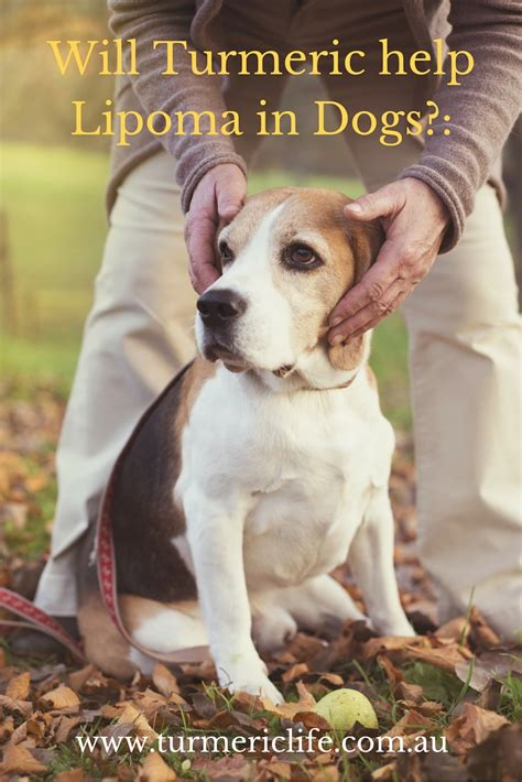 lipoma in dogs will turmeric help lipoma in dogs