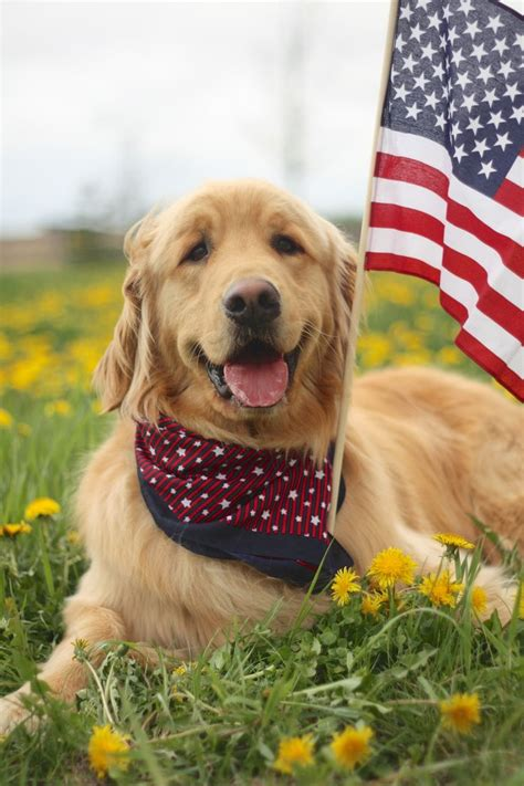 golden retriever flags 990 best images about animals on merry pumpkins and