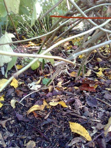 hortensie schneiden wann wann hortensien schneiden hortensien schneiden wann ist