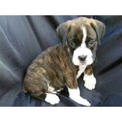 brindle puppies brindle boxer puppies brindle boxer and boxer puppies on
