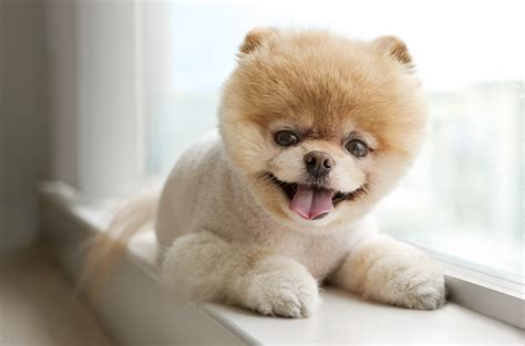 rot the cutest in the world books boo the pomeranian haircut haircuts models ideas