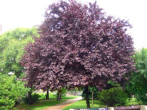 prunus cerasifera nigra plantinfo everything and anything about plants in sa
