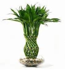 low sunlight plants low light lucky bamboo plant feng shui pinterest