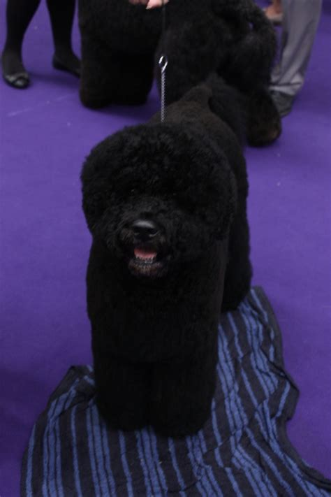 obama breed 78 best images about portuguese water dogs on westminster show st