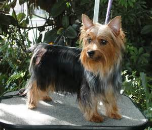 silky terrier hair cut australian terrier haircuts hairstyle gallery