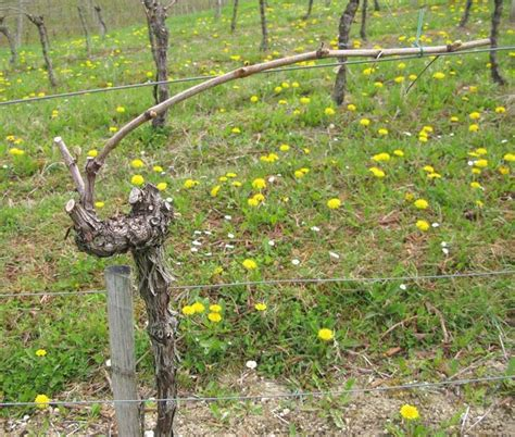 come coltivare l uva da tavola potatura vite potatura come potare la vite