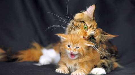 cute cat baby  mother nice animal wallpapers hd