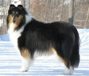 tri color collie collie colors and white tri colored and blue merle