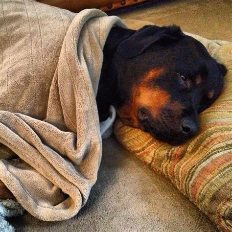 vicious rottweiler 17 best ideas about rottweiler on rottweiler info list and