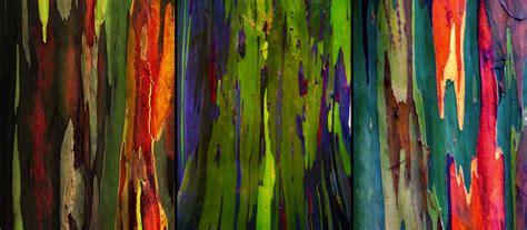 rainbow trees living rainbow rainbow eucalyptus most beautiful tree