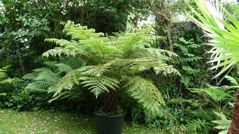 right way and how to plant tree ferns at your garden youtube