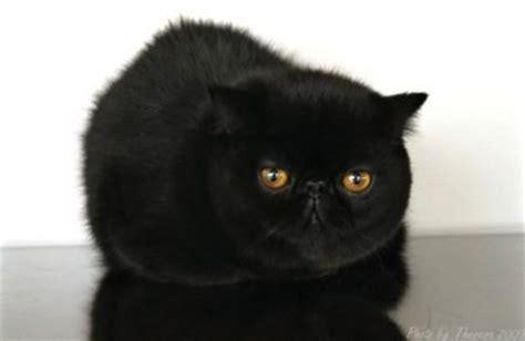 exotic cat  persian exotic