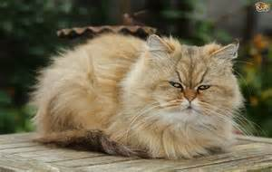 the five most expensive cat breeds in the world pets4homes