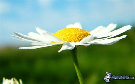 pratolina fiore pratolina