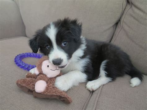 black and white border collie puppy our new baby black and white border collie puppy