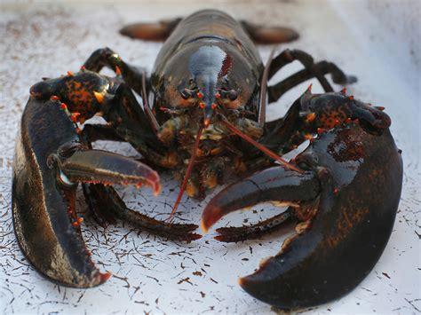 cucinare aragosta trova le differenze aragosta e astice innaturale