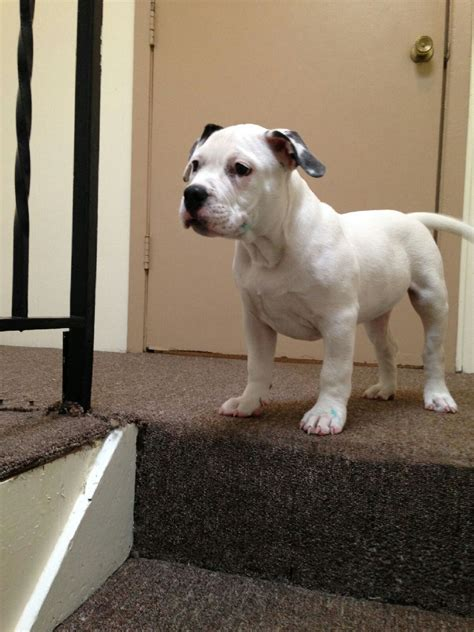 bully for sale steelhead bullies quality dogs for quality homes