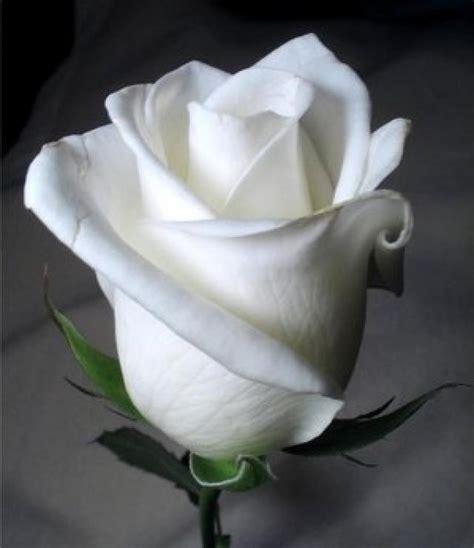 imagenes de rosas blancas naturales ranking de las flores mas bonitas del mundo listas en