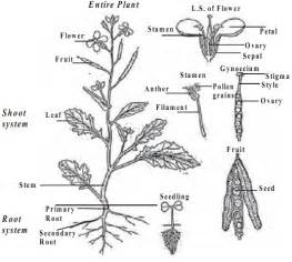 Plant Parts Roots 288 Of Mustard Jpg sketch template