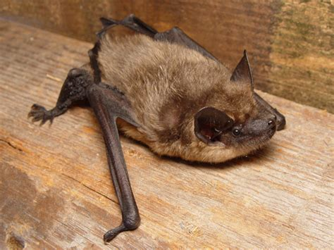 serotine bat wikipedia