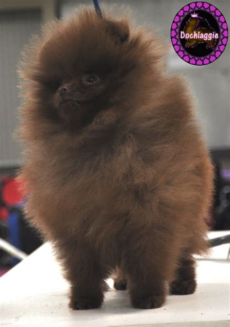 chocolate and pomeranian chocolate pomeranians pomeranian information and facts